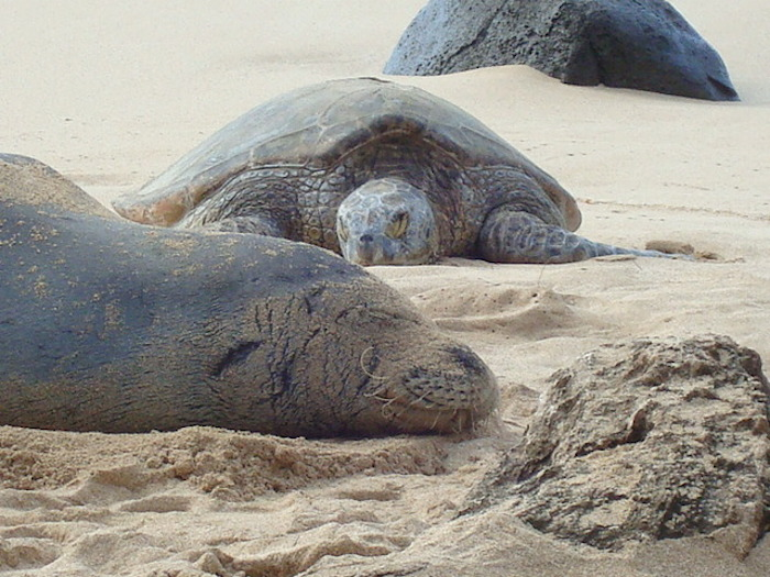 Monk seal and turtle