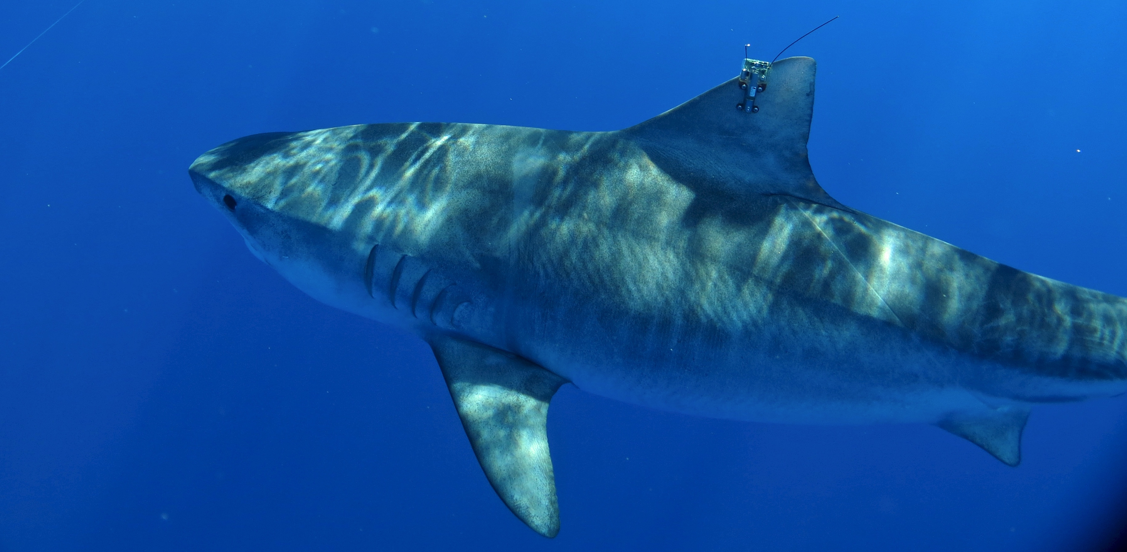 hawaiʻi tiger shark tracking pacioos tagged tiger shark
