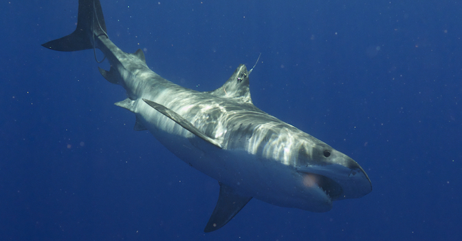 news-sharks-oceanographers