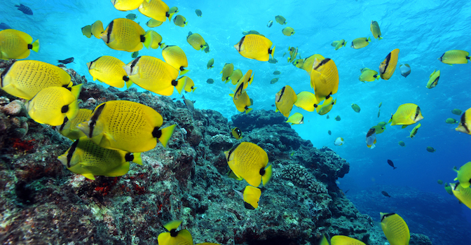 Photographer - Greg McFall/ONMS  Description - Milletseed butterflyfishes and snorkeler near surface, taken in 2009 in Papahānaumokuākea Marine National Monument   WOD submission