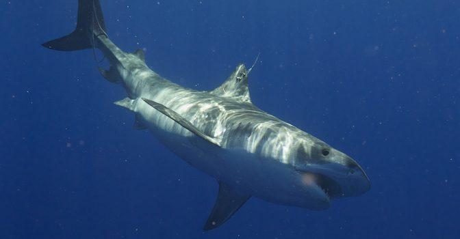 news-sharks-oceanographers